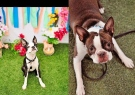 Two dogs, Butters, left and Pickles, right, ran away after a crash on Highway 401. (Handout / CTV London)