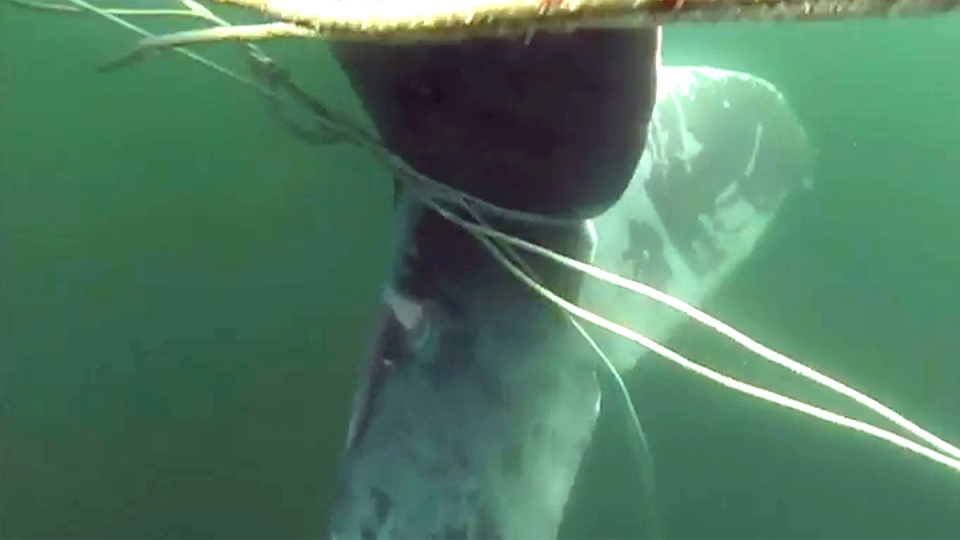 A humpback whale was found tangled in a kilometre of fishing rope off B.C.'s Sunshine Coast this week. June 23, 2015. (Department of Fisheries and Oceans)