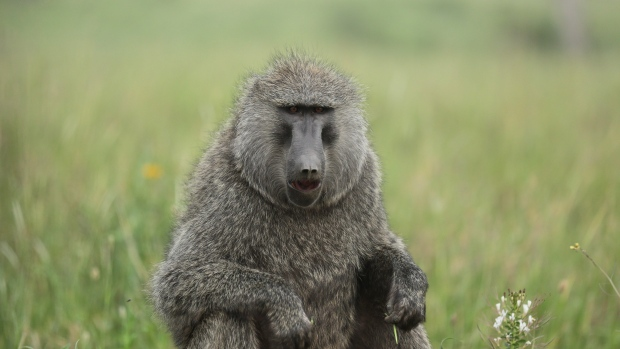 Baboons make five human-like vowel sounds