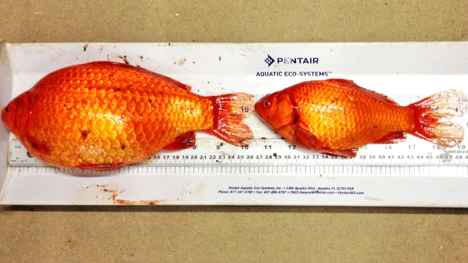 These large goldfish were pulled from a pond in Fort McMurray, Alta. in 2014.