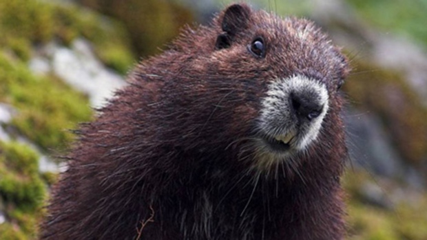 Summer heat may be to blame for winter deaths of endangered marmots