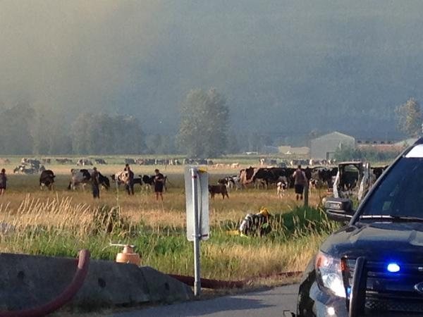 Cows were moved from the barn into a neighbouring field.