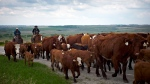 In this file image, cowboys move cows north west of Calgary, on May 28, 2013. (THE CANADIAN PRESS/Jeff McIntosh)