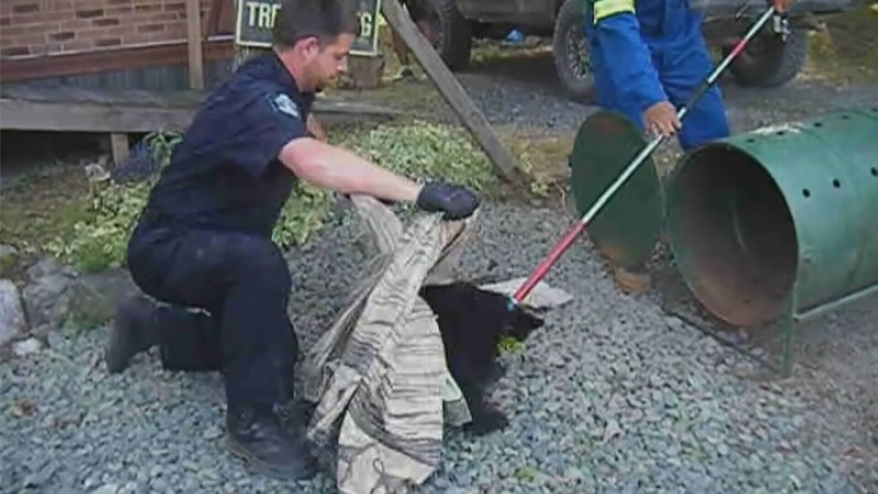Conservation officer Bryce Casavant is seen trying to calm a bear cub before taking it to a rehabilitation organization on Vancouver Island in this still from a YouTube video.