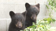 CTV Vancouver: Suspended for saving bears