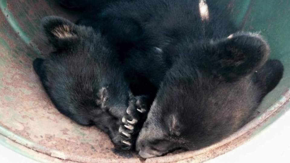 A conservation officer was suspended after refusing to euthanize two bear cubs near Port Hardy over the weekend.