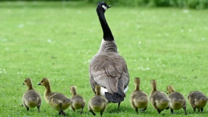 Canada geese chicks toddle behind their mother in a park in Gelsenkirchen, Germany, on Monday, May, 18, 2015. (AP / Martin Meissner)