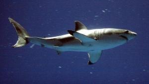 A great white shark swims in aquarium in Monterey, Calif., on Sept. 14, 2004. (Richard Green/The Californian via AP)