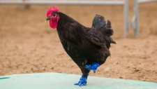 3D feet on a rooster