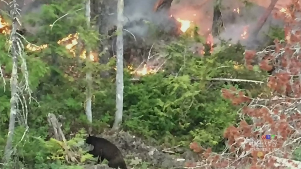 A black bear is seen on the shores of Sproat Lake just metres away from a raging wildfire.(Steve Kendall)