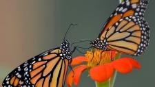 Monarch butterflies on plant