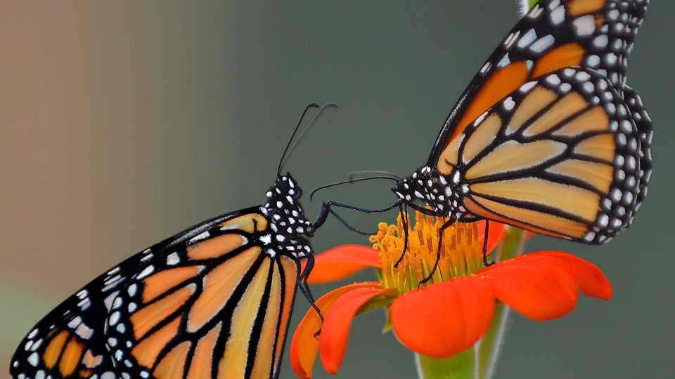 A pair of monarch butterflies, hatched just hours earlier, feed on a flower Friday, June 12, 2015, at ButterflyWorkx butterfly farm in Dunnellon, Fla. on June 12, 2015. (Matthew Beck / The Citris County Chronicle)