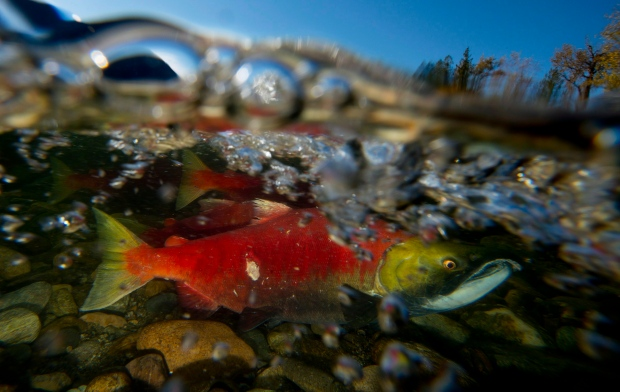 Spawning sockeye salmon are seen making their way up the Adams River in Roderick Haig-Brown Provincial Park near Chase, B.C. Tuesday, Oct. 14, 2014. Salmon are completing a several hundred kilometre journey from the Pacific Ocean over the next couple of weeks to spawn. THE CANADIAN PRESS/Jonathan Hayward