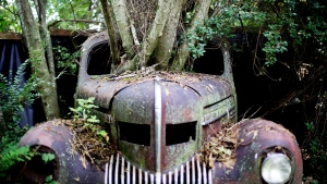 Trees grow through the windshield of a 1937 Chrysler Imperial as it sits at Old Car City, the world's largest known classic car junkyard in White, Ga. on Thursday, July 16, 2015. (AP / David Goldman)