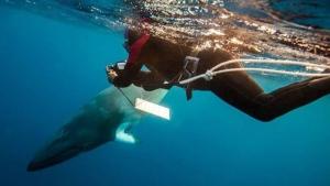 A diver tracks a minke whale in Australia. (International Fund for Animal Welfare / Twitter)