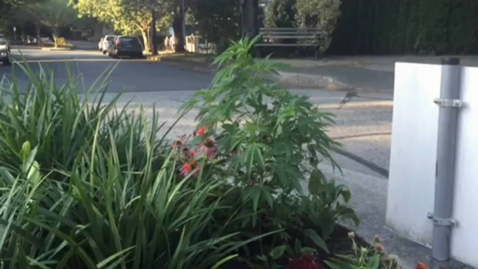 A plant that appears to be marijuana was found growing in this Mount Pleasant traffic circle (CTV).