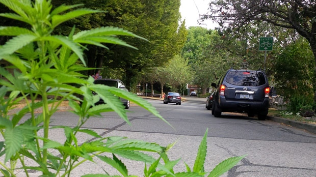 What appears to be a marijuana plant was discovered growing in a Mount Pleasant traffic circle Monday evening (CTV's Peter Grainger).