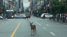 Downtown deer