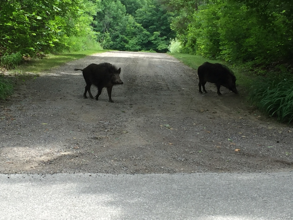 Two wild boars can be seen roaming near Caledon East, Ont. on Sunday, July 19, 2015. (Nicole Maglione)