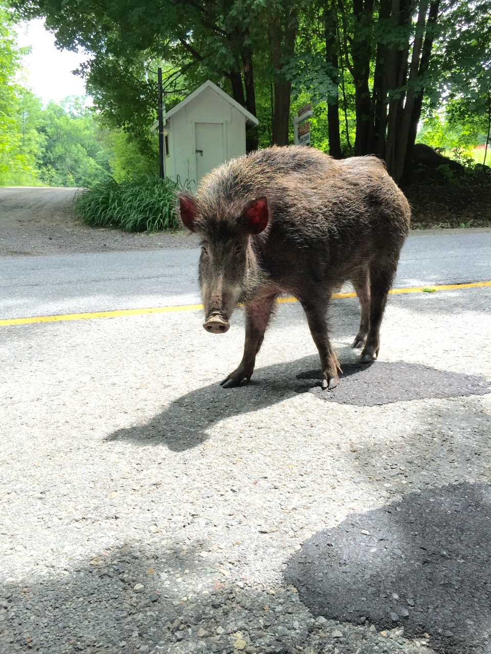 A wild boars can be seen roaming near Caledon East, Ont. on Sunday, July 19, 2015. (Nicole Maglione)