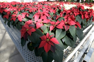 Poinsettia plants are displayed on sale at Oklahoma State University, Oklahoma City campus, on Nov. 29, 2007. (AP)
