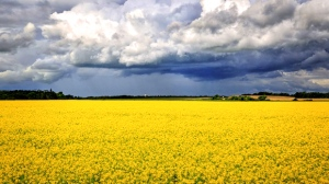 Summer in the Prairies. This is a canola field east of Cypress River. Photo by Garry Shepherd