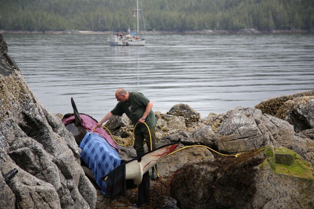 Rescuers help young orca stranded on rocks ctv vancouver for Landscaping rocks windsor ontario