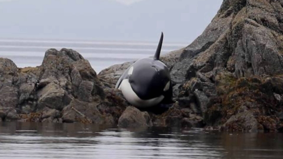 Witnesses said a young orca became stranded on rocks while hunting seals with family off the B.C. coast. July 23, 2015. (Cetacealab)