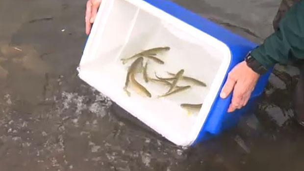 Cutthroat trout in Banff
