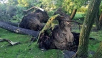 Uprooted trees are seen after a severe storm swept through Virden, Man., on Tuesday, July 28, 2015. (Ben Miljure /CTV News)