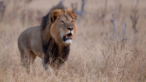 Lion researcher says Cecil's companion alive, despite shooting report