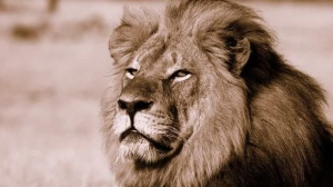 Cecil the Lion pictured in a handout photo (African Bush Camps)