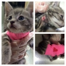 A Windsor kitten is recovering after getting infested with botfly larvae. (Courtesy Windsor/Essex County Humane Society)