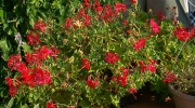 Canada AM: Reviving summer annuals