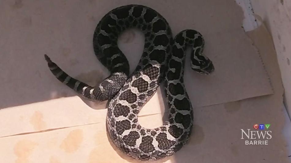 CTV Barrie: Rattlesnake attacks