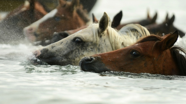 Every year, a group of volunteers called the &#39;Saltwater Cowboys&#39; takes the Chincoteague Ponies across the Assateague Channel to Chincoteague Island, Virginia at slack tide. An auction of a portion of the herd benefits the Chincoteague Volunteer Fire Department, which owns and maintains the herd. <br><br>Chincoteague ponies make the 90th annual Chincoteague Pony Swim across Assateague Channel to Chincoteague Island, Va., on Wednesday, July 29, 2015. (Jay Diem / The Daily Times)