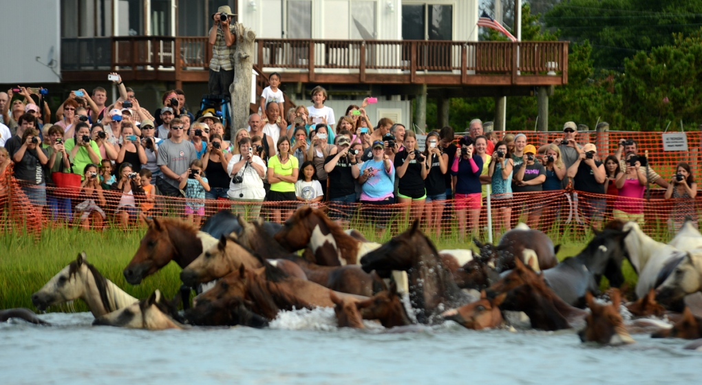 Photos 90th Annual Chincoteague Pony Swim Ctv News