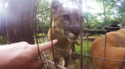 'Here kitty': man jumps  zoo fence to pet cougar