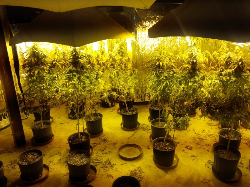The London Police Service released this image of a grow op found in a search on St. Clair Crescent in London's southwest end.