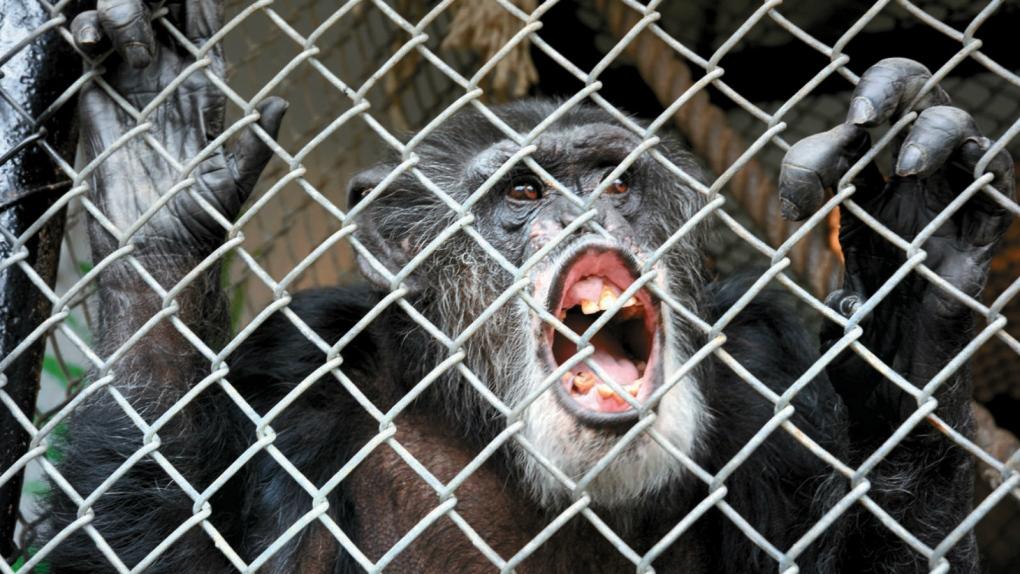 Chimp lawsuit wraps up