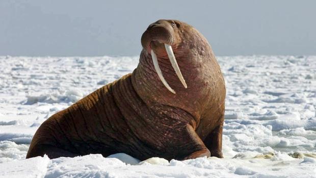 Walrus migration moving north