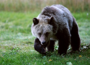 In this Sept. 25, 2013 photo, a grizzly bear cub forages for food a few miles from the north entrance to Yellowstone National Park in Gardiner, Mont. (Casper Star-Tribune / Alan Rogers / AP Photo)
