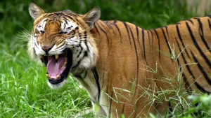 In this June 1, 2003 file photo, a Royal Bengal tiger roars at the Dhaka zoo at Mirpur district in Dhaka, Bangladesh. (Pavel Rahman/AP Photo, File)