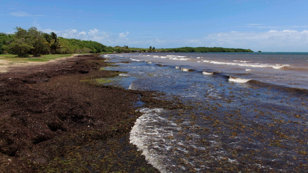 Canada AM: Seaweed piles up on Caribbean beaches | CTV News