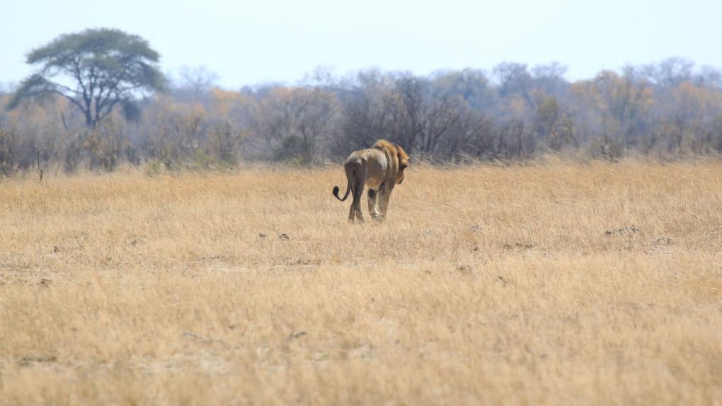 Lion walks in Hwange national park