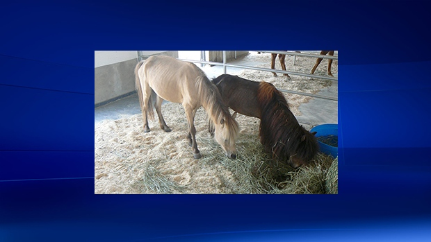 Horses taken from a Surrey, B.C. property are shown in this image from the BC SPCA website.
