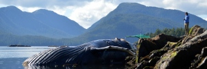 Humpback whale found dead off coast of B.C.