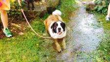 Dog at 2015 edition of Pawlooza (S. Irvine/CTV)