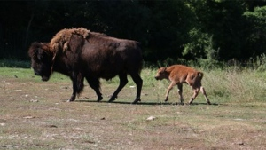 Two wood bison are seen in this photo from the Toronto Zoo.