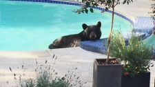 Bear lounges in pool, hot tub in Vancouver
